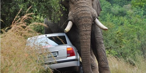 African elephant falls in love with a Volkswagen Passat