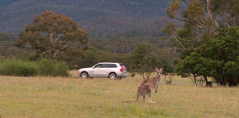 volvo-kangaroo-detection-11